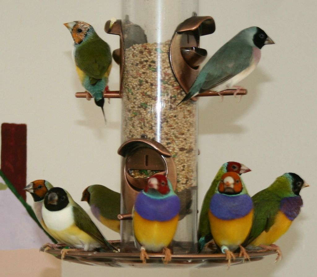 Lakeview Aviary Gouldian Finches