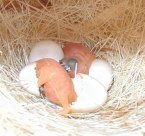 Gouldian finches hatching